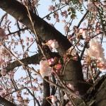 20160229 学園桜
